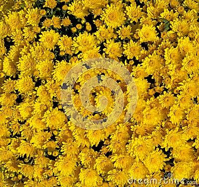 Golden Yellow Mums