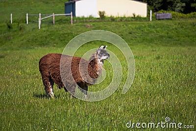 Looking Llama