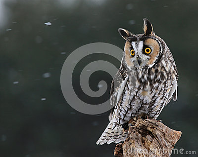 Looking Long-eared Owl