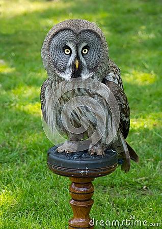 Looking owl