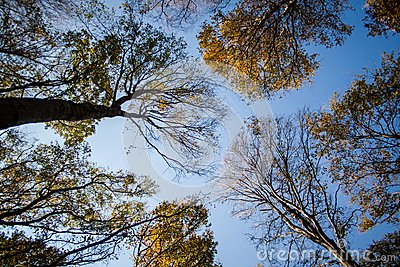 Looking up in a beech tree forest in autumn