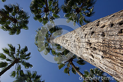 Looking up at a group of palm trees