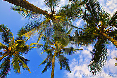Looking up Palm Trees in Hawaii