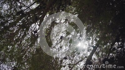 Looking up the pine coniferous tree branches with cones, strong sun shining through stock footage
