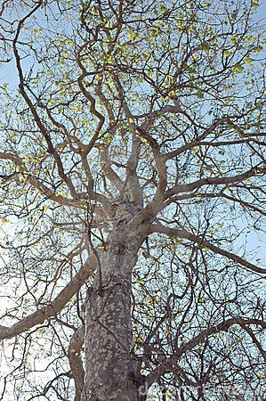 Looking up at a sycamore tree