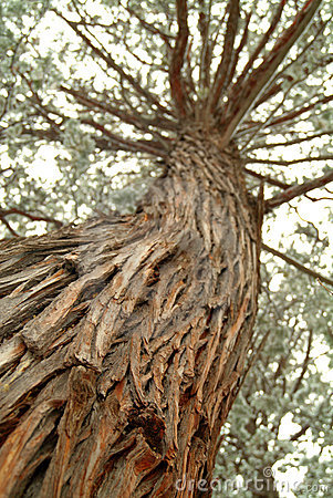 Free Looking Up The Trunk Of A Tall Pine Tree Royalty Free Stock Images - 5564539