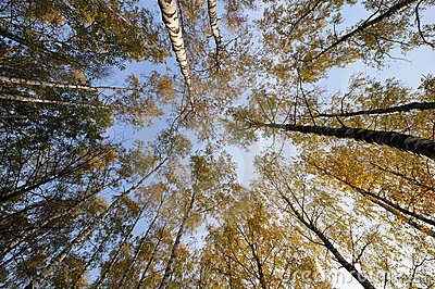 Looking up to the sky in the birch wood