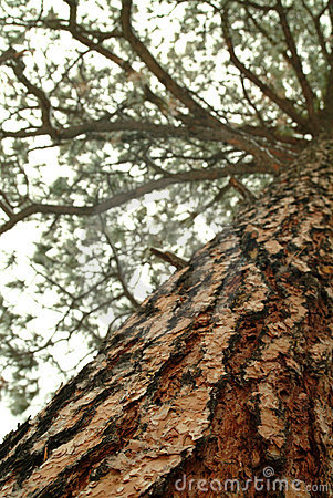Looking up the trunk of a tall pine tree