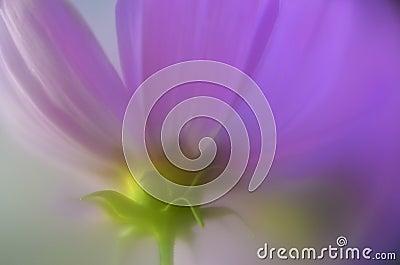 Purple Cosmos