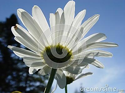 Looking Upward at a Daisy