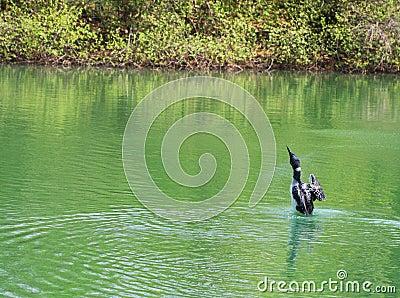 Loon Bird Posing
