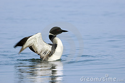 Loon Drying its Wings