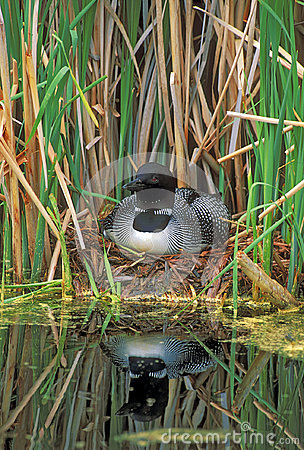 Free Loon On Nest In Reed Grass. Stock Images - 96237734
