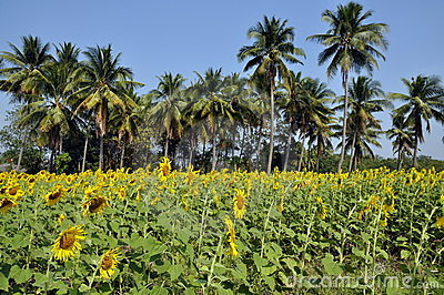 Lop Buri Province, Thailand: Sunflower Fields