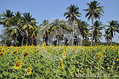 Lop Buri Province, Thailand: Sunflower Fields