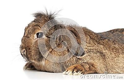 Lop-eared fluffy rabbit