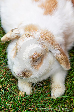 Lop Earred Rabbit