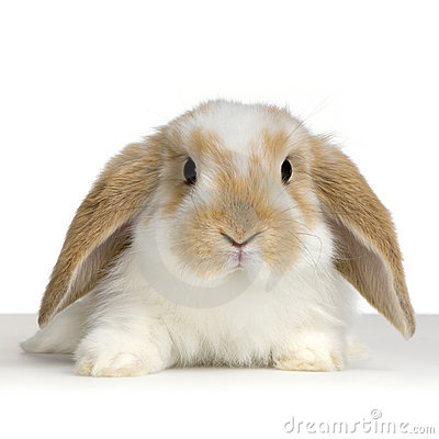 Free Lop Rabbit Royalty Free Stock Image - 2238286