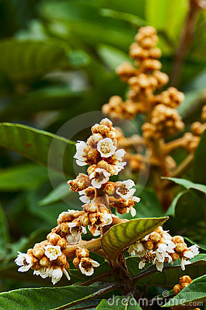Free Loquat Tree With Flower Stock Image - 21923501