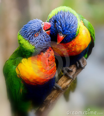 Free Lorikeet Whispers A Secret Stock Images - 2293914