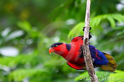 Lory naped purple