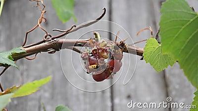Los avispones y las moscas comen las uvas almacen de metraje de vídeo