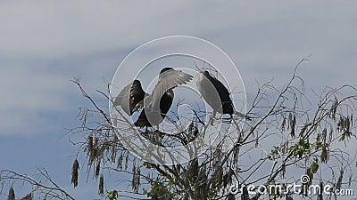Los cormoranes en el medio silvestre almacen de metraje de vídeo