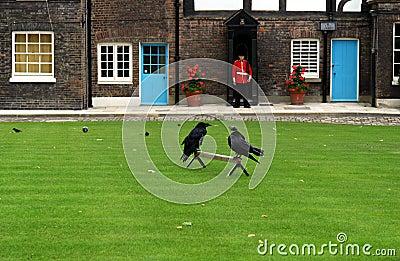 Los cuervos en la torre de Londres (Inglaterra)