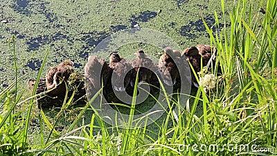 Los duques de un tronco en el estanque disfrutan del cálido sol. Naturaleza Fauna silvestre Aves metrajes