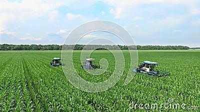 Los lanzamientos jovenes del maíz en el campo en filas, una granja para el maíz creciente, tractores de la agricultura analizan,  almacen de video