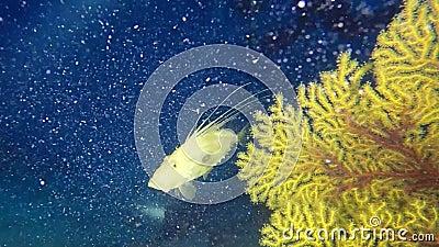 Los pescados del ` s de Peter ven gorgonians del throgh en el filón mediterráneo profundo almacen de video