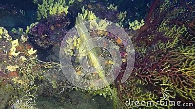 Los pescados del ` s de Petr, pez de san Pedro de Juan, pescado de Faber del zeus ven gorgonians del throgh almacen de metraje de vídeo