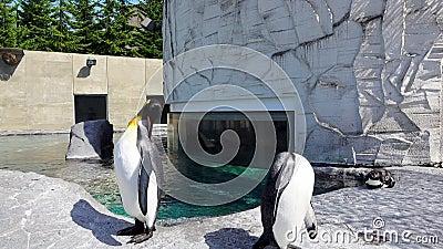 Los pingüinos se lavan la pluma delante de una piscina metrajes