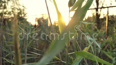 Los rayos del sol que se desprenden en verano atraviesan las cañas verdes. Naturaleza y aire limpio y puesta de sol cerca del rí almacen de video