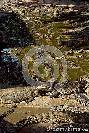 A lot big crocodiles in the water