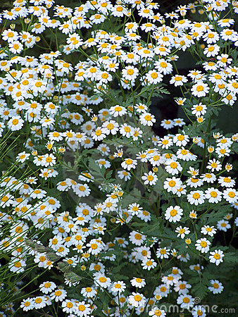 A lot of Daisy 1