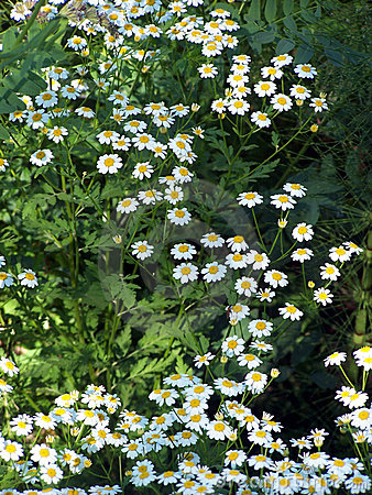 A lot of Daisy 2