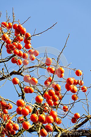 A lot of fruit ripe persimmon tree