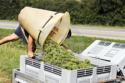Lot of grapes