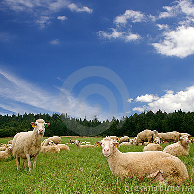 A Lot Sheep On The Green Meadow