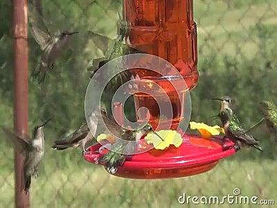 Lotes dos colibris que querem no alimentador video estoque