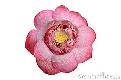 Lotosowy kwiat