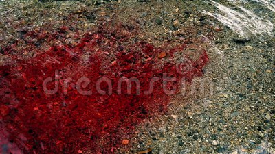 Lots Of Blood Flowing In The River. Blood flows into river from something dead or injured stock footage