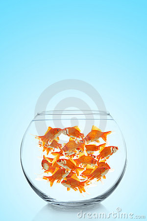 Lots of colorful goldfishes