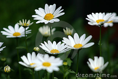 Lots Of Daisies Royalty Free Stock Photos - Image: 827808