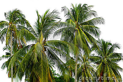 Lots of palm trees over white