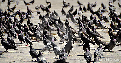 Lots of Pigeons on the City Square
