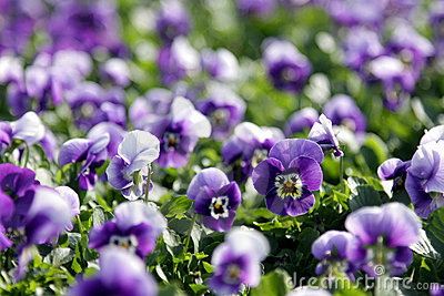 Lots of Purple Violas