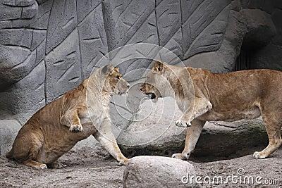 Lotta dei leoni