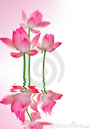 Free Lotus Stock Photos - 11984063